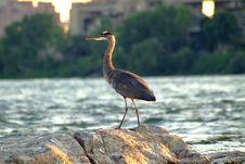 Free Great Blue Heron2 Royalty Free Stock Image - 276606