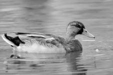 Free White And Black Mallard Duck Royalty Free Stock Image - 276976
