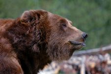 Free Grizzly Bear - Mouth Closed Stock Photos - 277243