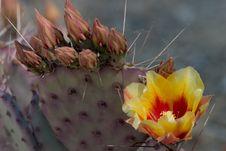 Free Flowering Cactus Royalty Free Stock Photo - 277355