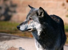 Free Timber Wolf Looking Left Stock Photography - 277422