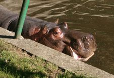 Free Hippo In Zoo Stock Photo - 278030
