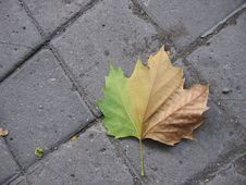 Free Fallen Leaf Royalty Free Stock Image - 278106