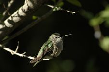 Free Perched Hummingbird Royalty Free Stock Image - 278366
