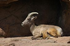 Free Bighorn Sheep Laying Down Stock Photography - 278372