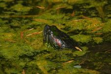 Free Turtle Peering From Slimy Pond Stock Photos - 278373