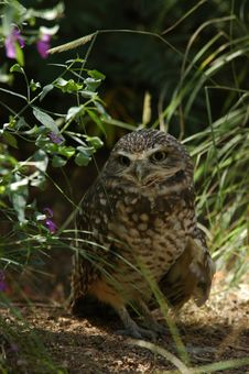 Free Burrowing Owl Stock Images - 278374