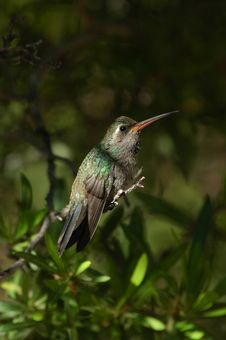 Free Perched Hummingbird Stock Photography - 278392