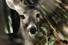 Free Deer Looking At Viewer Royalty Free Stock Photography - 278397