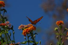 Free Butterfly Poised On Flower Royalty Free Stock Images - 278469