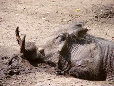 Free A Mud Happy Warthog Royalty Free Stock Image - 278736