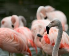 Free Flamingos Royalty Free Stock Image - 279256