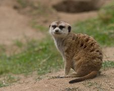 Free Curious Meerkat Royalty Free Stock Photography - 279257