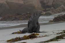 Free Old Sea Lion On The Beach Stock Photography - 279262