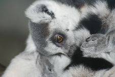 Free A Resting Lemur Royalty Free Stock Photo - 279675