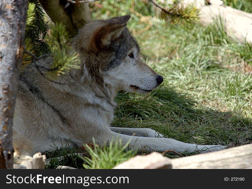 Wolf Resting Under Tree