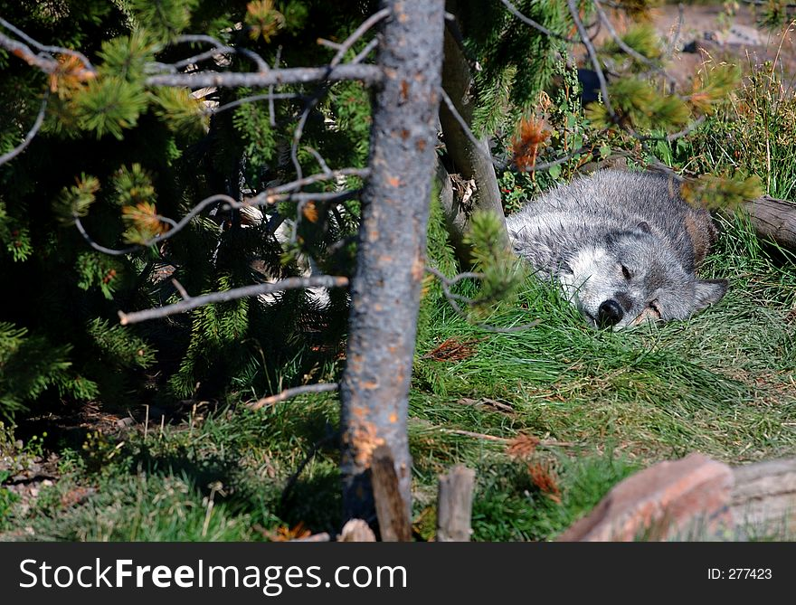 Timber Wolf Lying Down - Copy Space to Left