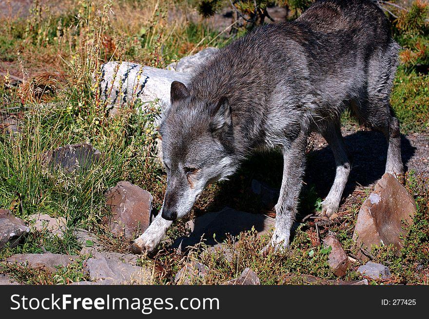 Timber Wolf Walking Left