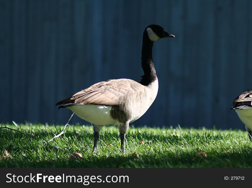Shade Goose
