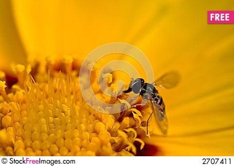 Free Tiny Bee On Yellow Flower Stock Image - 2707411