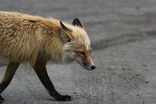 Free Wild Fox Portrait Royalty Free Stock Photo - 2700045