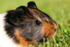 Free Portrait Of Guinea Pig Stock Image - 2700971