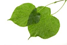 Structure Of Wet Leaves Royalty Free Stock Images