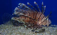 Free Lion Fish Royalty Free Stock Images - 2701309