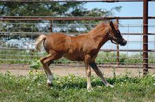 Pony Colt Stock Photography