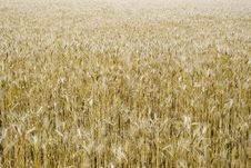 Free The Big Field Of Ripened Wheat Royalty Free Stock Photo - 2701575