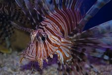 Free Lion Fish Stock Images - 2701724