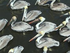 Free Orderly Pelicans Royalty Free Stock Image - 2701936