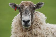 Free Sheep Royalty Free Stock Photography - 2702847