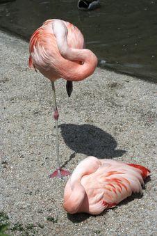 Free Two Flamingos Royalty Free Stock Image - 2703046