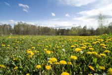Free Field With Dandelions Stock Photo - 2703670