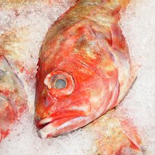Free Red Snapper Royalty Free Stock Image - 2704066
