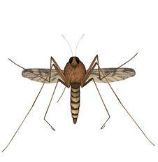 Free Mosquito Royalty Free Stock Photo - 2704405
