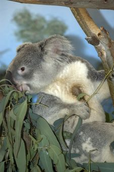 Free Koala Bear Stock Photography - 2704532