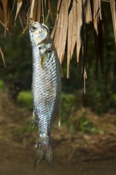 Free Freshwater Fish Stock Photography - 2704812