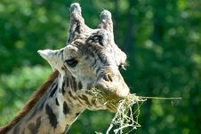 Free Giraffe Royalty Free Stock Photos - 2704858