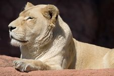 Free Lioness Stock Image - 2704881