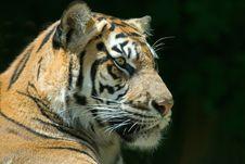 Free Sumatran Tiger Stock Photography - 2704882