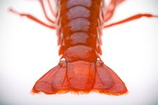 Free Crayfish Royalty Free Stock Photography - 2707407