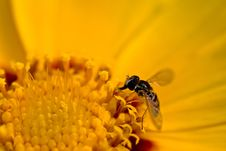 Free Tiny Bee On Yellow Flower Stock Image - 2707411