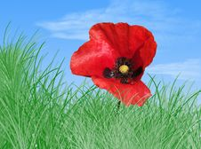 Free Poppy In The Grass Stock Images - 2707484