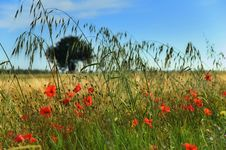 Free Poppies In A Field Royalty Free Stock Photos - 2708668