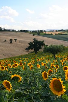 Free Sunflowers Field Stock Images - 2709034