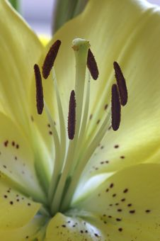 Free Yellow Lily Royalty Free Stock Images - 2709599