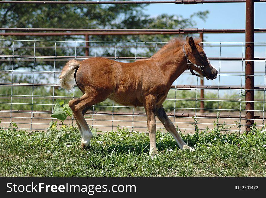 Pony colt
