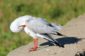Free White Seagull Preening On The Stone Wall Royalty Free Stock Image - 27003556